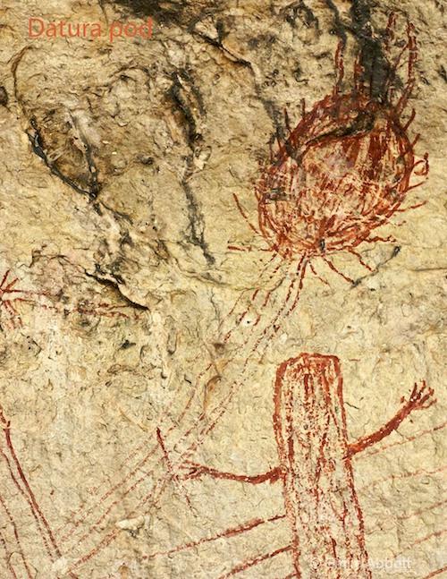 Datura Pod (Panther Cave)