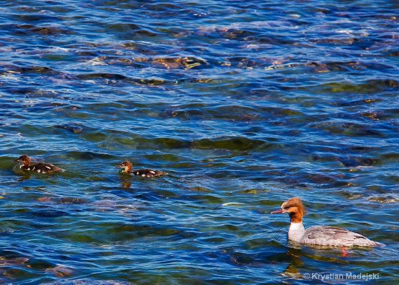Duck with youngsters
