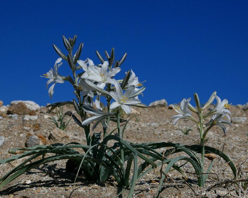 Desert Lily Hillside
