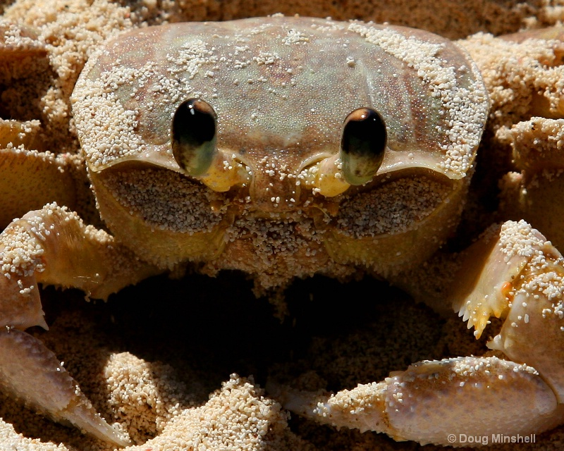 Bahamas Sand Crab Close Up