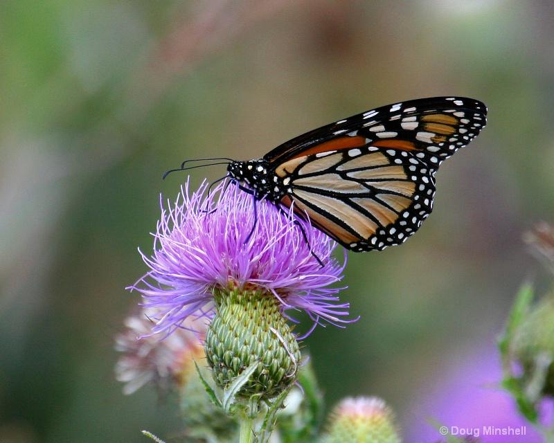 Nebraska Butterfly 2