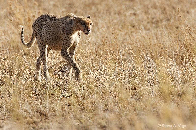 vige steve serengeti4 tan 012