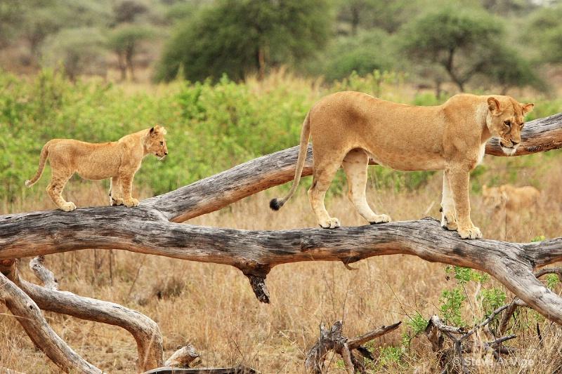 vige steve serengeti5 tan 002