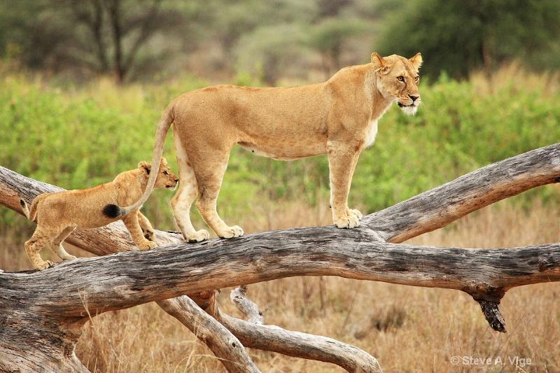 vige steve serengeti5 tan 004