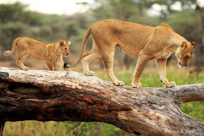 vige steve serengeti5 tan 005