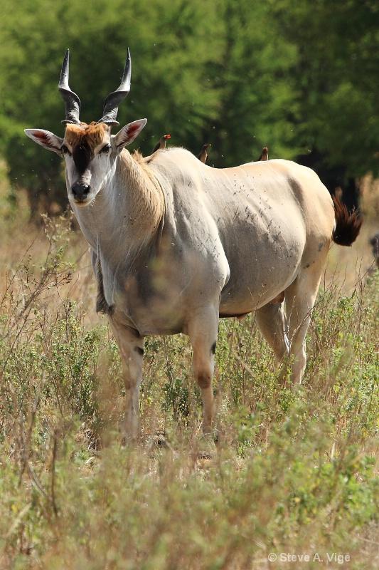 vige steve serengeti5 tan 017