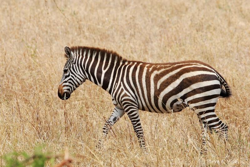 vige steve serengeti5 tan 028