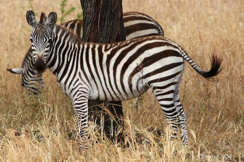 vige steve serengeti5 tan 029