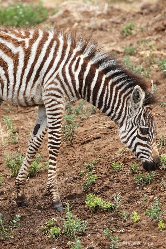vige steve serengeti5 tan 031