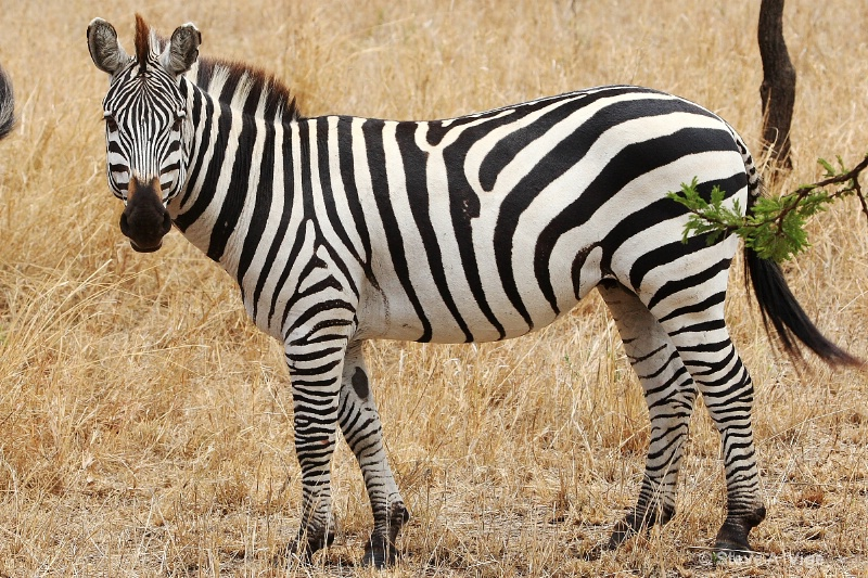 vige steve serengeti5 tan 033