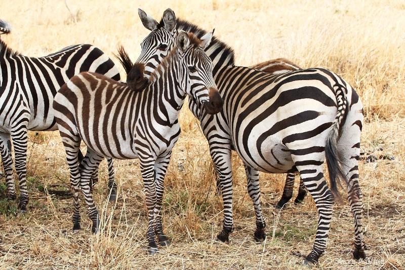 vige steve serengeti5 tan 034