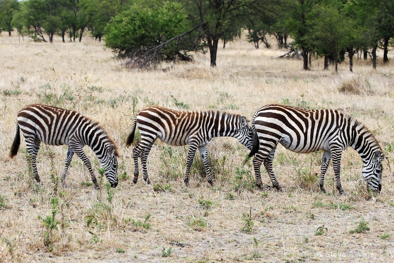 vige steve serengeti5 tan 036