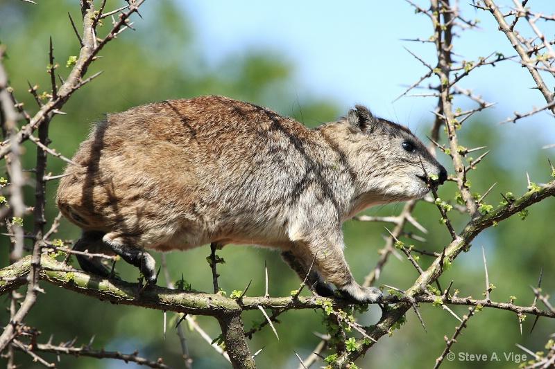 vige steve serengeti5 tan 041