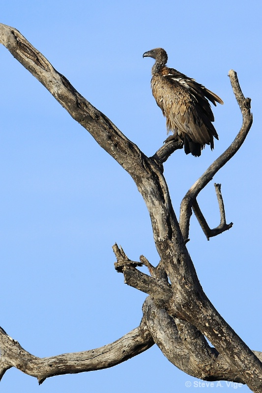 vige steve serengeti5 tan 085