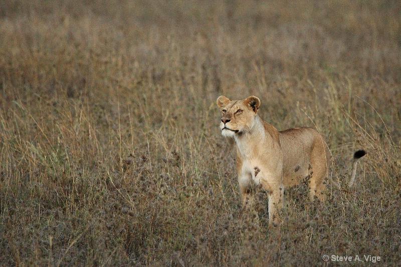 vige steve serengeti7 tan 017
