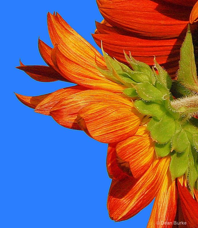 Sunflower Birth