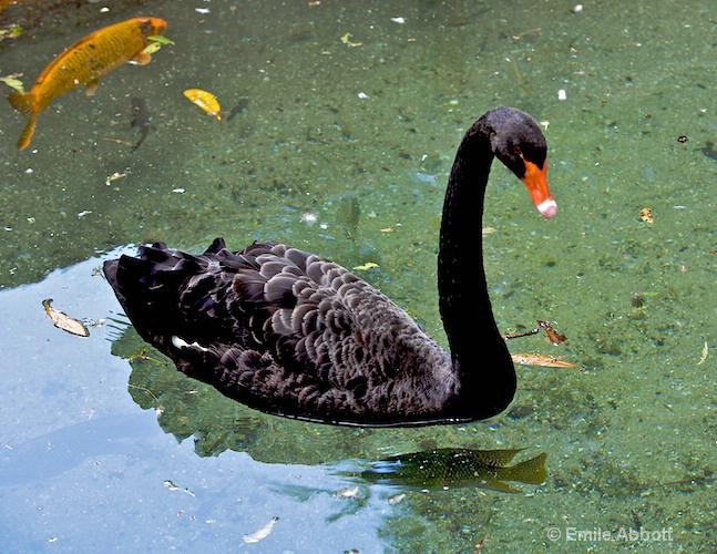 Black Swan of Australia