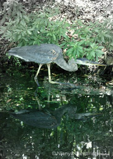 Heron - Amelia Island Plantation