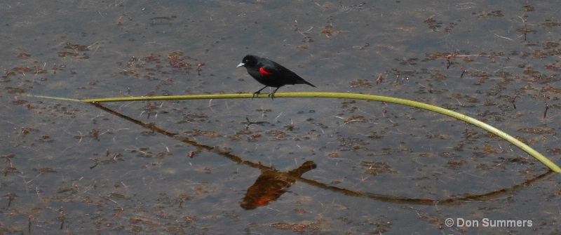 Red Wing Black Bird, Marin County CA 2009
