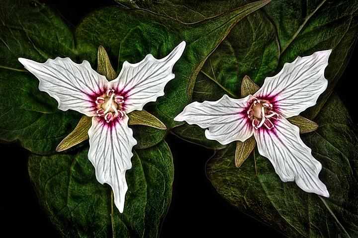 Painted Trilliums