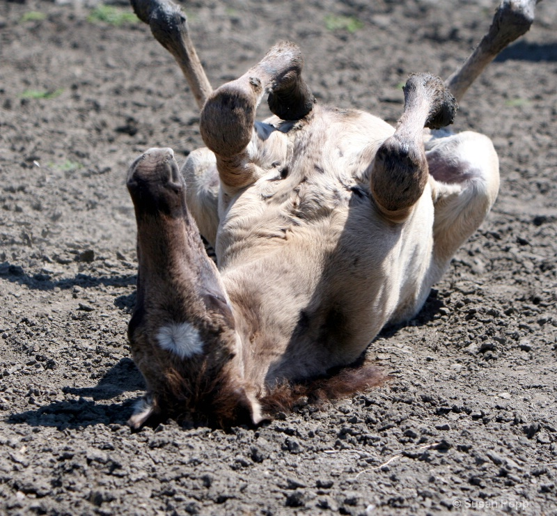 A quick roll in the mud
