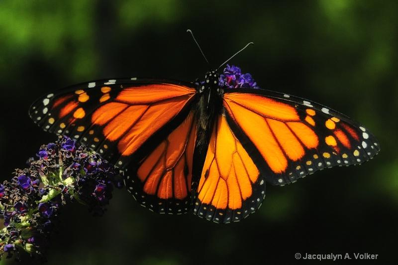 Magnificent Monarch!