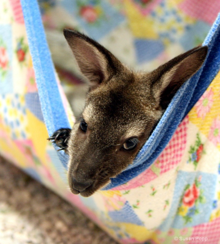 A baby joey