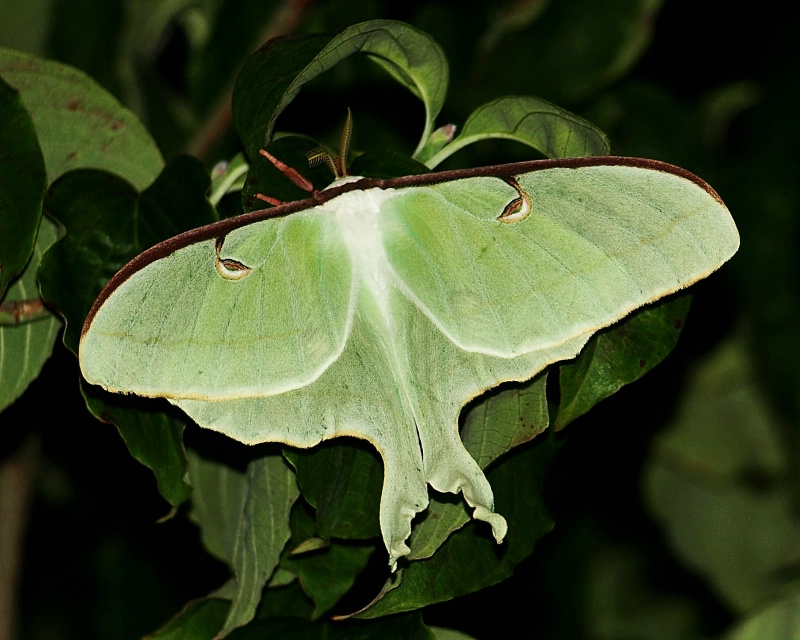LUNAR MOTH AT NIGHT