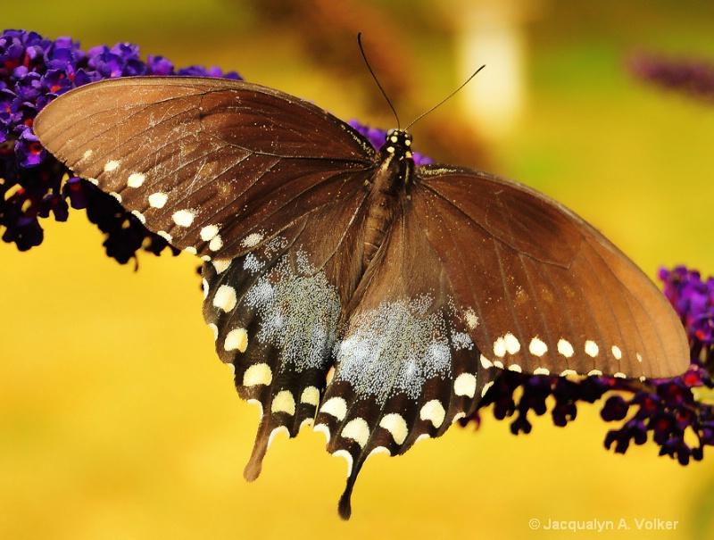 Spicebush Swallowtail!