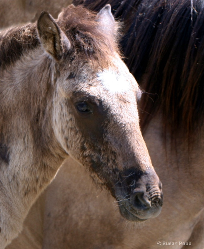 Face of a Spanish Foal