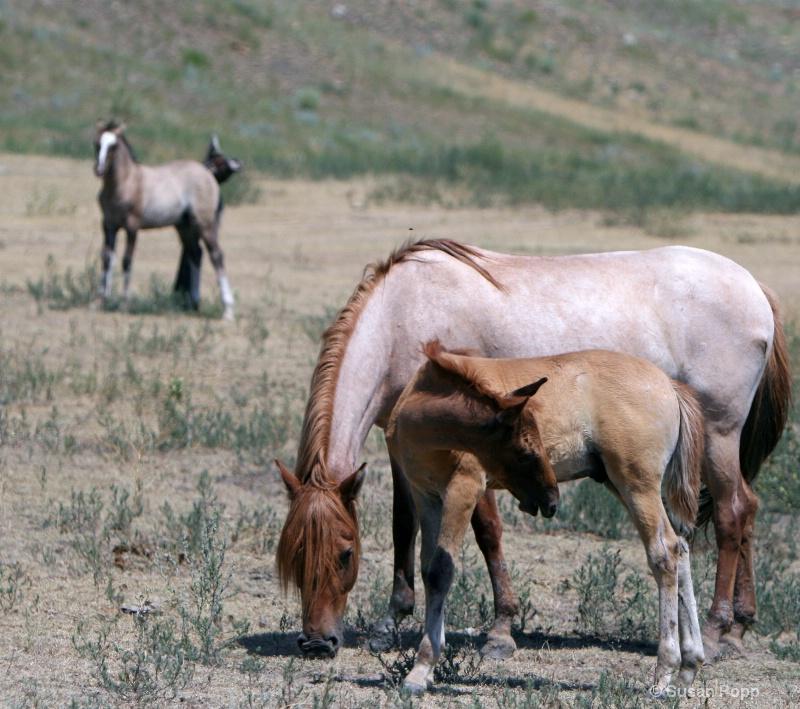 Spanish Mustangs