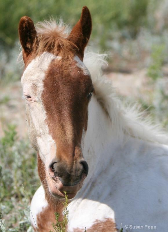 A medicine hat foal