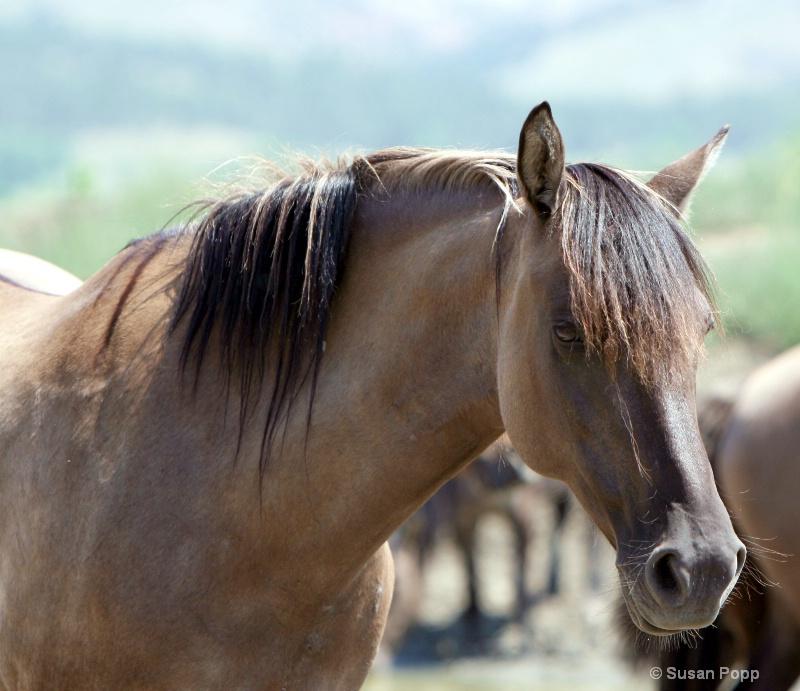 Spanish Mustang Mare