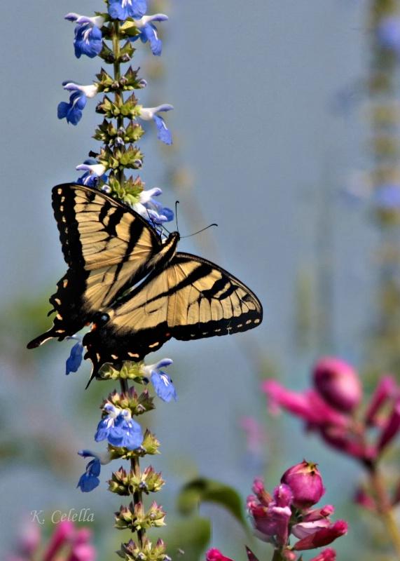Tiger Swallowtail in the Garden