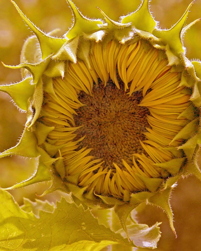 New Sunflower