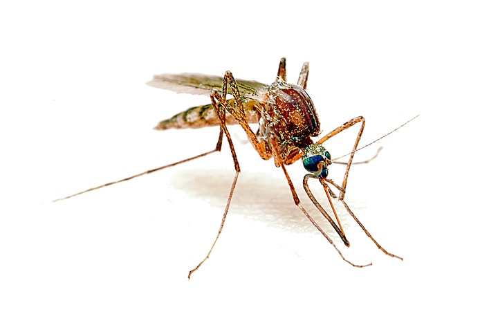 High Key Mosquito
