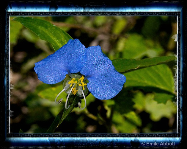 Dayflower (Commelina communis_