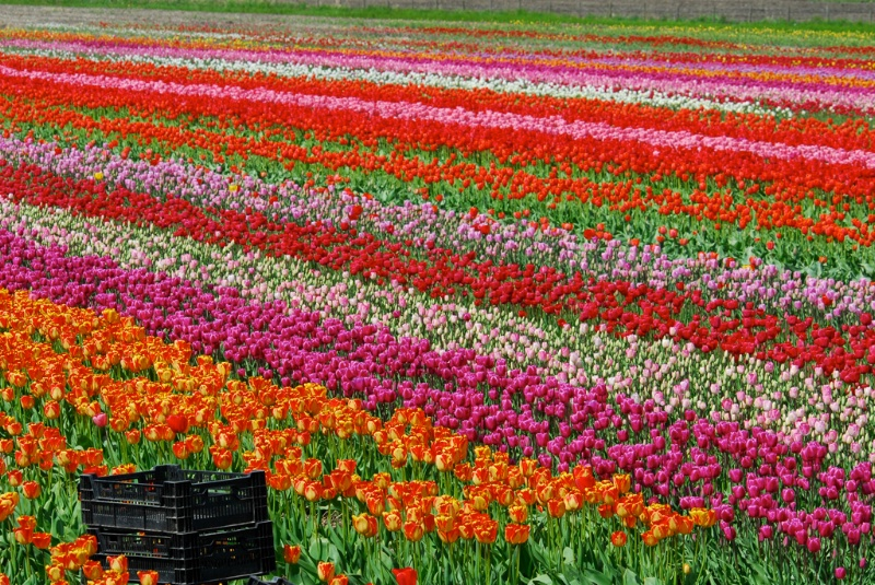 Rows of Colour