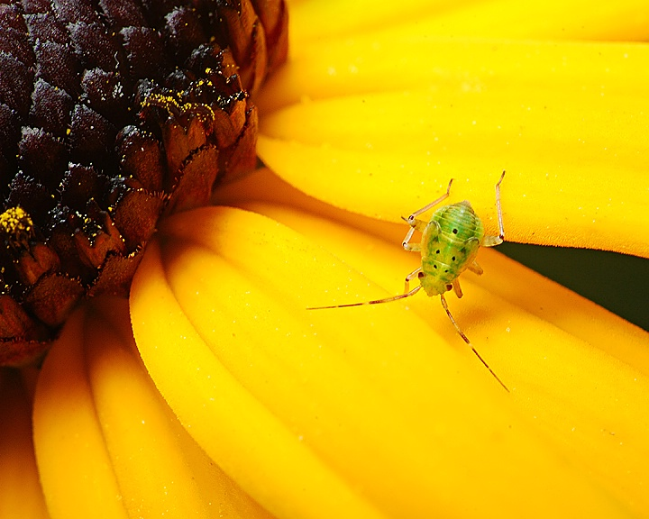 The Little Aphid That Could