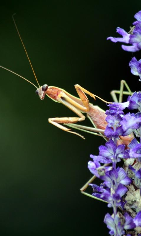 """Peekaboo Mantis"""