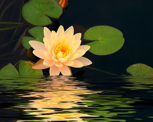 waterlillie