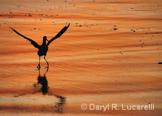 Sandpiper taking flight