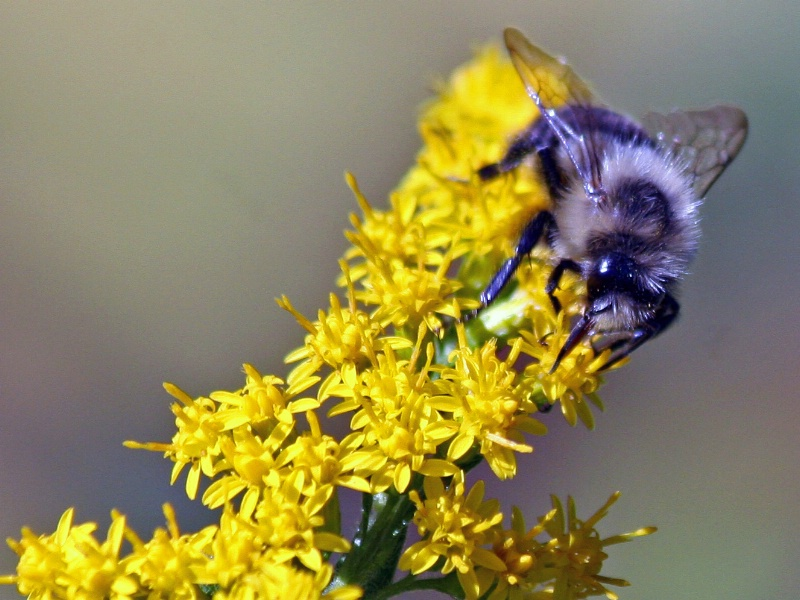 Bee and Goldenrod 2