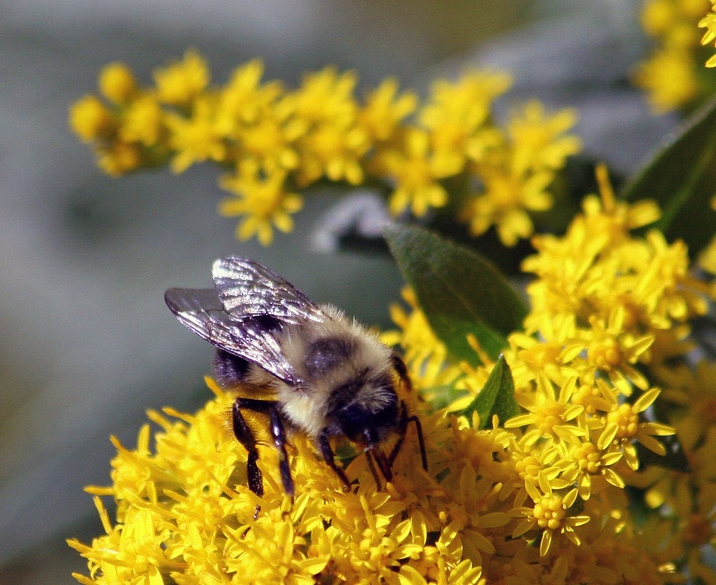 Bee and Goldenrod 3