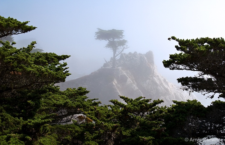 Lone Cypress in the Mist - III