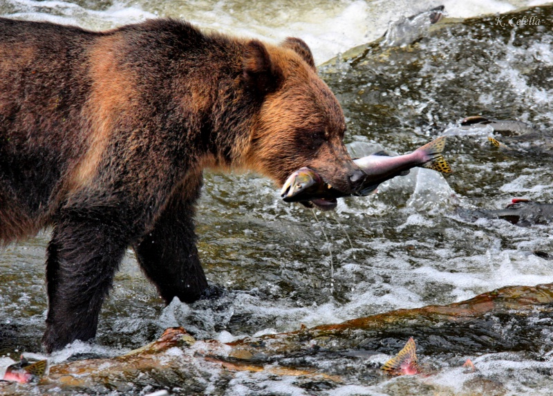 Telegraph Cove Grizzly