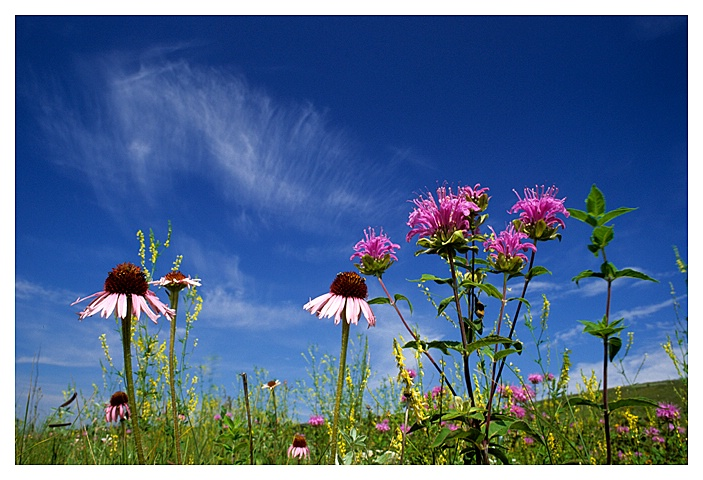 Bergamot and Echinacea, Souris Valley, SK