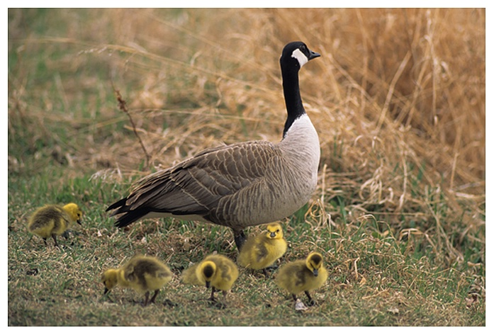 Canada Goose and Goslings