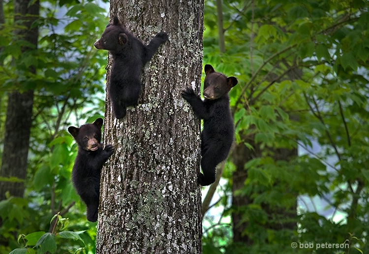 3 bear cubs, Burnsville NC