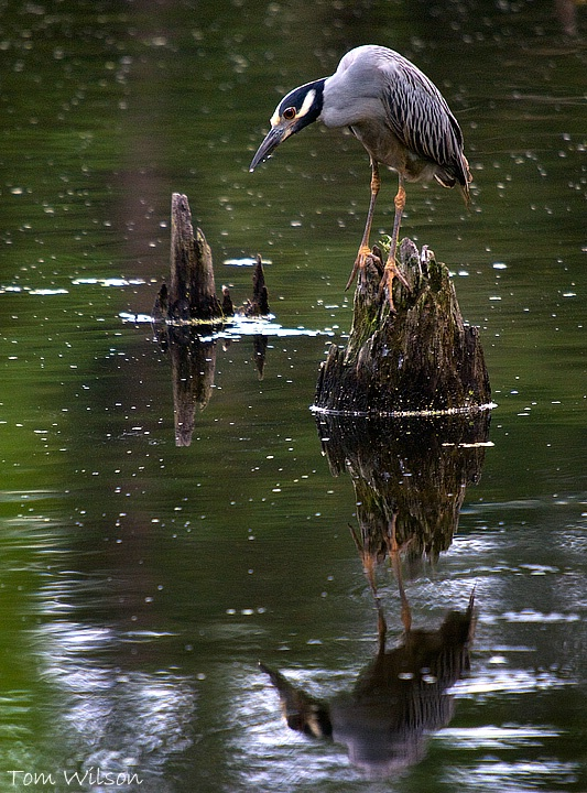 Yellow-crowned Night-Heron and Reflection